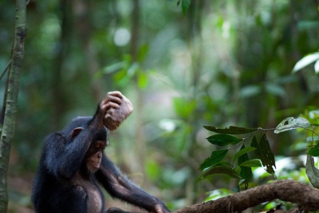 Le differenze di vicinato tra scimpanzé