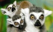 lemuri_96k