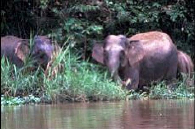 Gli elefanti in Borneo sono diversi