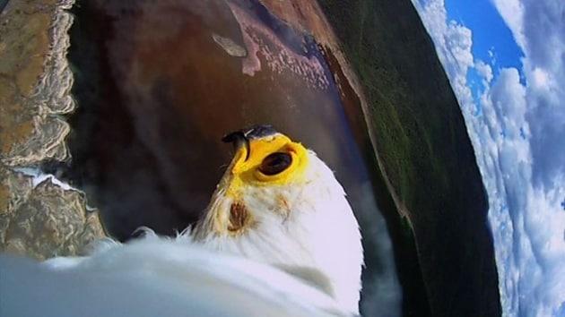 Il volo di un'aquila a caccia di fenicotteri