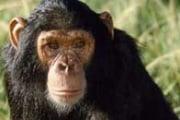 scimpanzecp