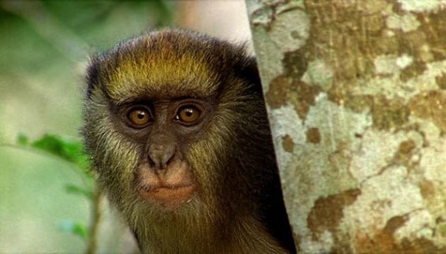 La scimmia che parla (quasi) come un uomo