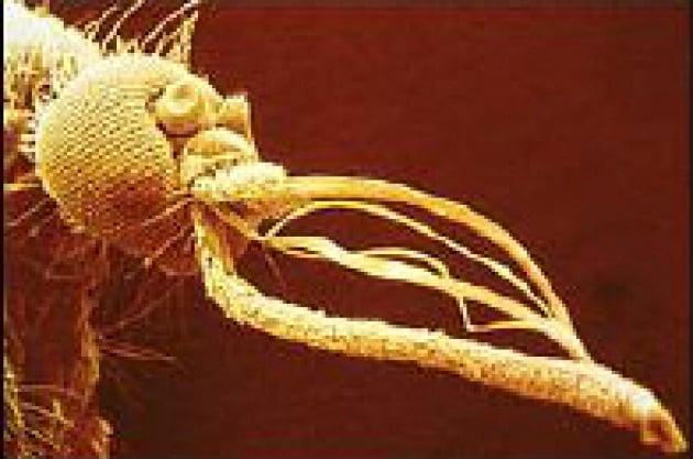 Non funziona l'OGM contro la malaria