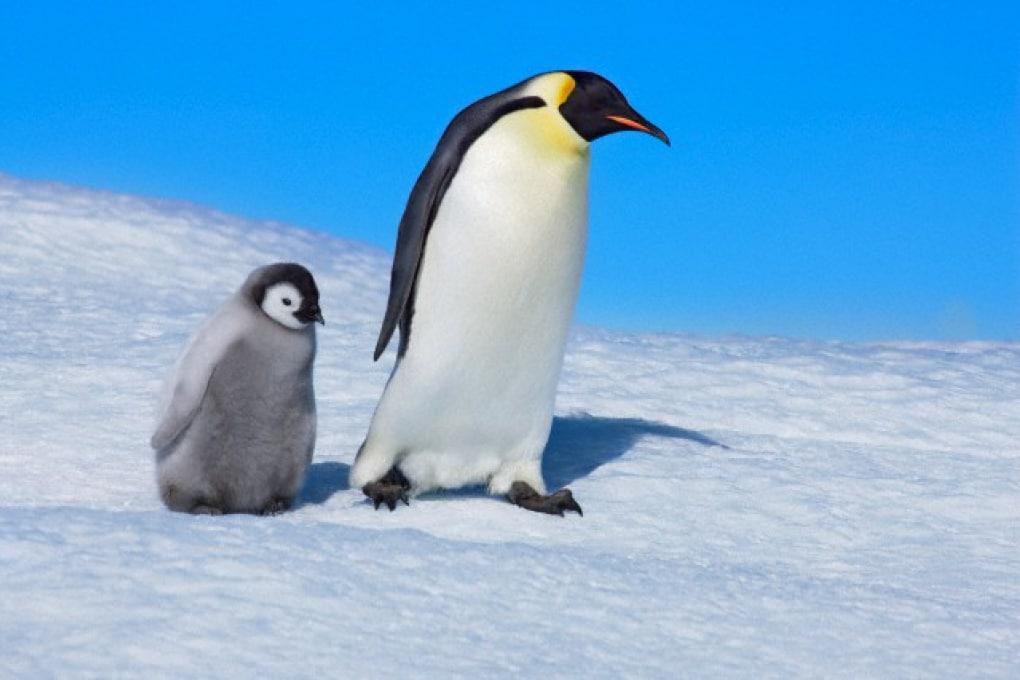 Perché le zampe dei pinguini non congelano?