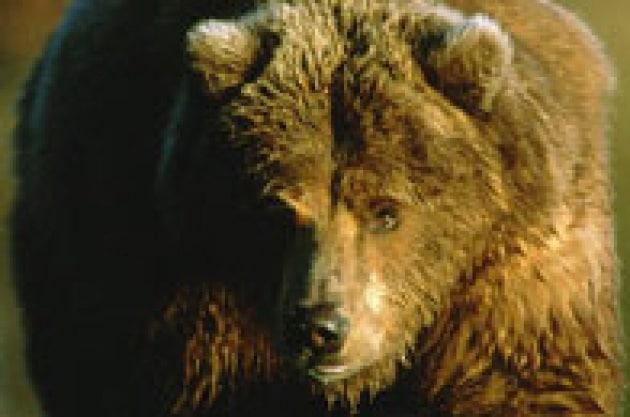 Troppo caldo: niente letargo per gli orsi