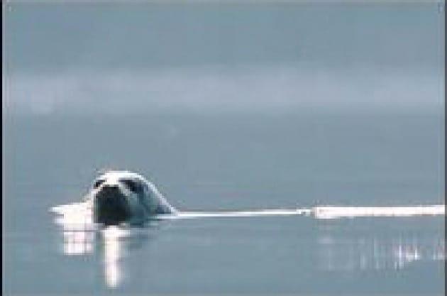 Le foche sentono il nemico