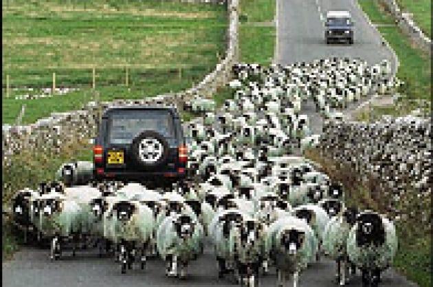 Le pecore preferiscono le pecore