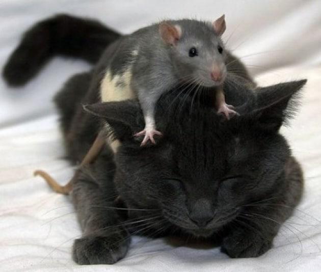 Topi virili? Merito dei gatti