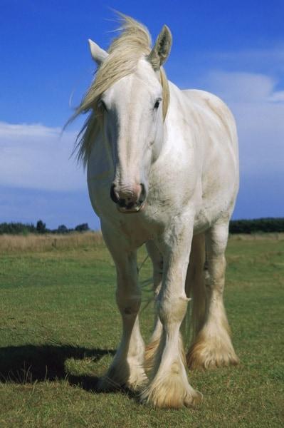 min_260356_cavallo-bianco