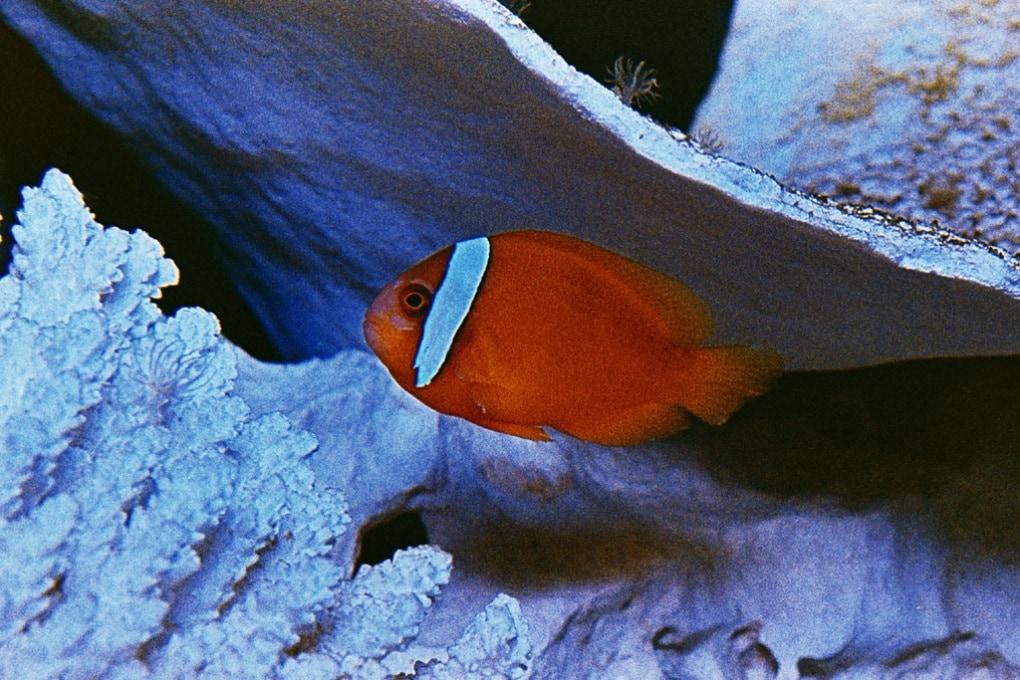 I pesci pagliaccio e la