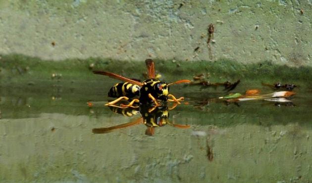 È vero che gli insetti bagnati non riescono a volare?