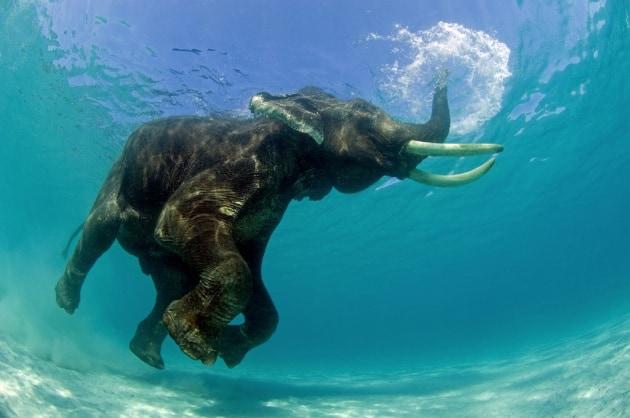 15 cose che non sapevi sugli elefanti