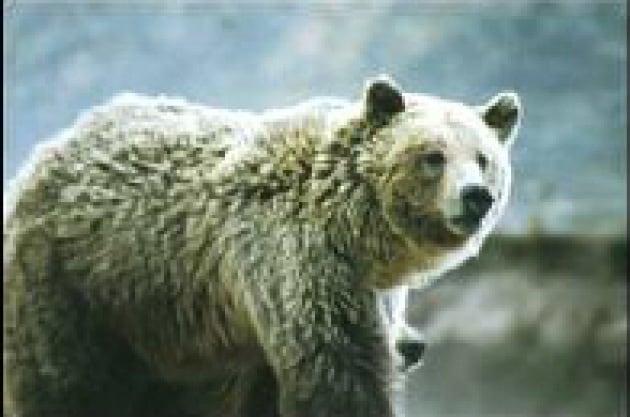 Pochi gli orsi di Yellowstone