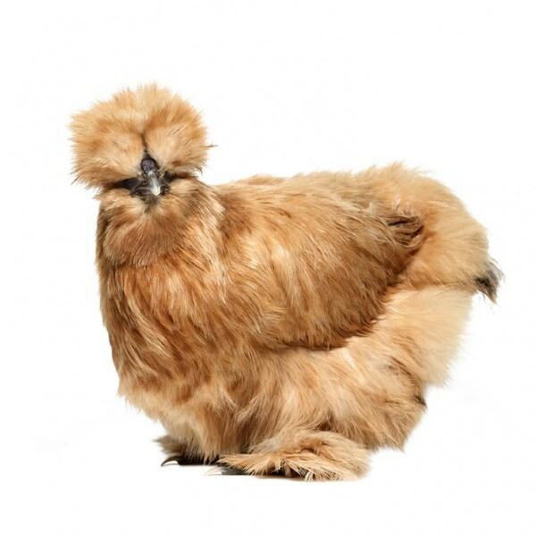 chickens_1_061