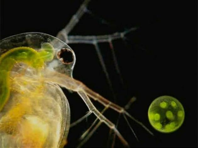 La pulce d'acqua gioca con un'alga