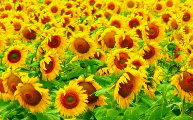 Perché molti fiori cambiano colore?