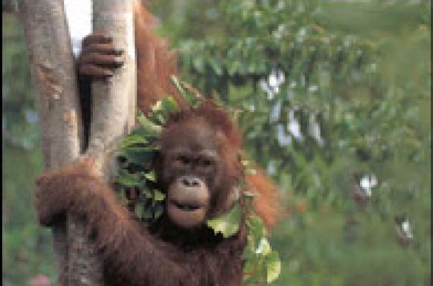Scoperta la città degli oranghi
