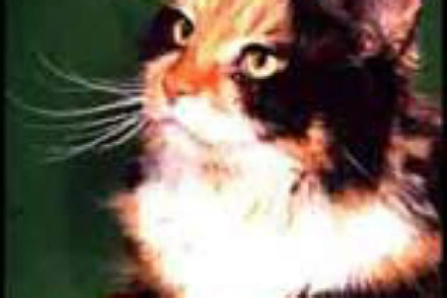 Perché I Gatti Di Tre Colori Sono Sempre Femmine Focusit