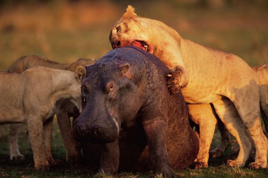 Le pi belle foto di animali africani for Foto di zig e sharko