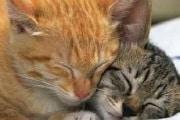 Esiste un tipo di Aids che colpisce i felini?