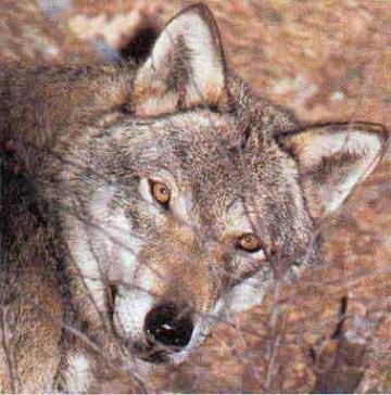 Il lupo è più intelligente del cane