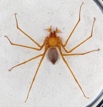 Un incubo su otto zampe: il ragno delle caverne con gli artigli