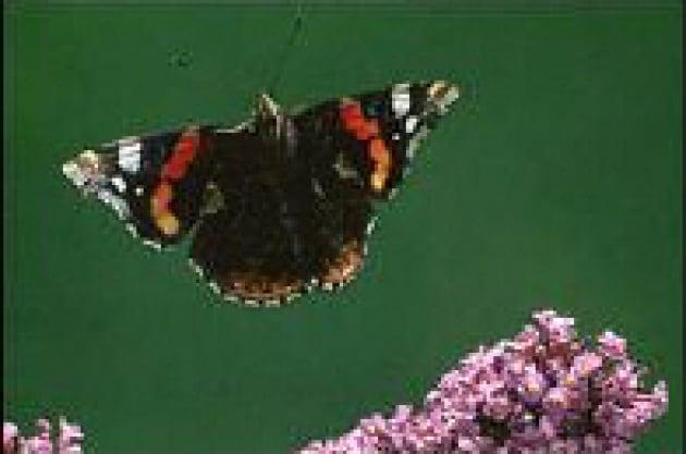Come volano le farfalle