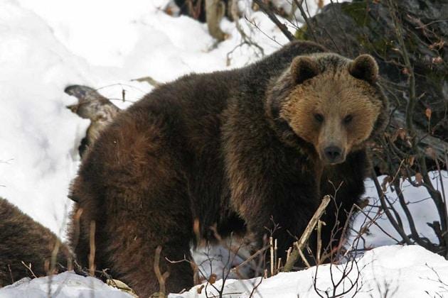 Cosa fare se incontrate un orso