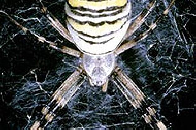 Ragni con la cintura di castità