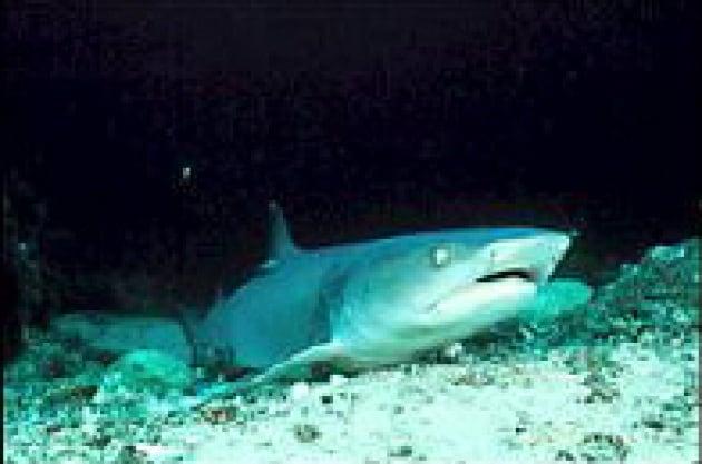Gli squali attaccano meno e ''meglio''