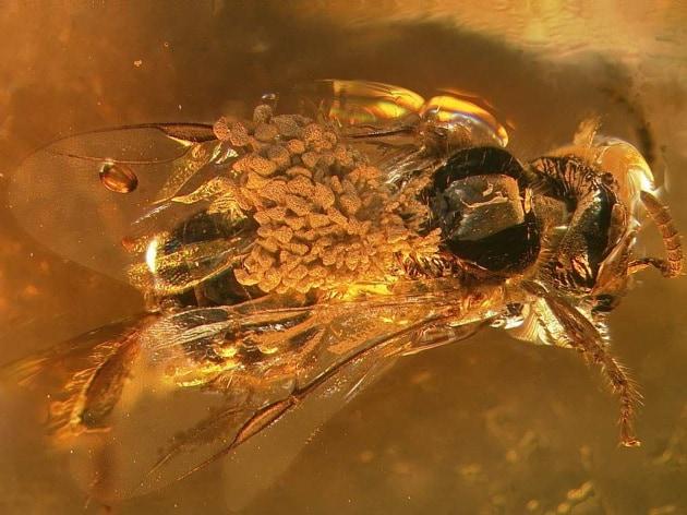 Dall'era dei dinosauri: orchidee in una goccia d'ambra