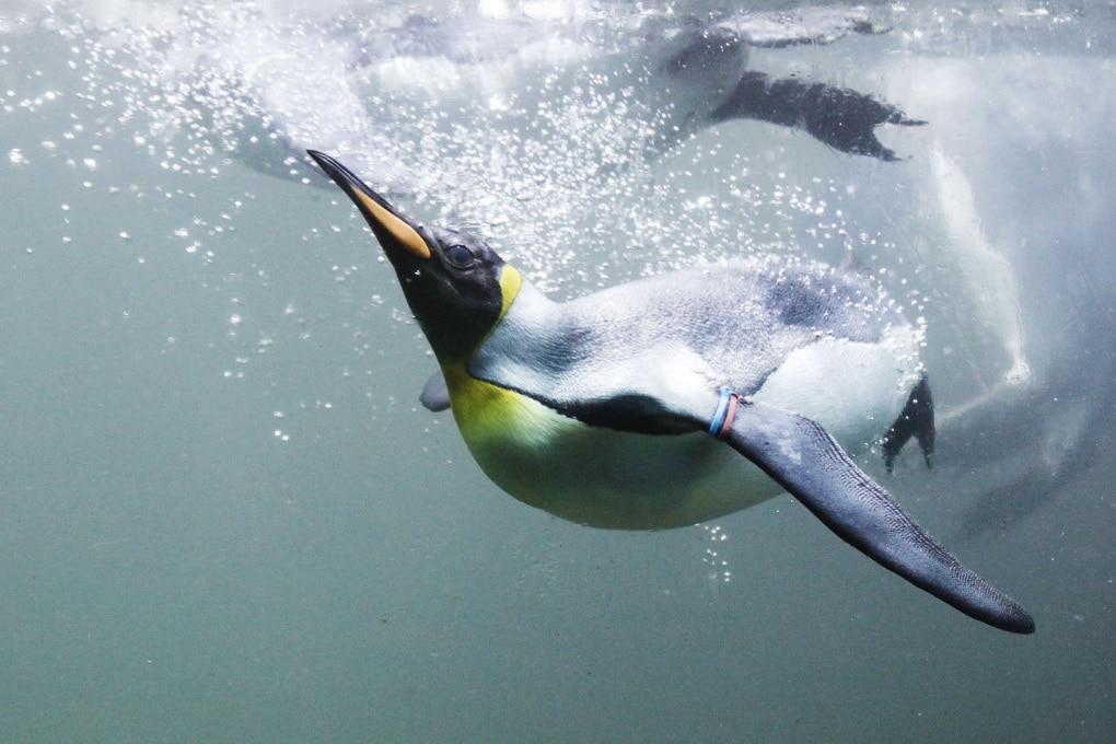 È vero che i pinguini digiunano per mesi?