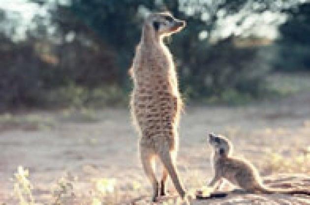 """Anche i suricate vanno a """"scuola"""""""