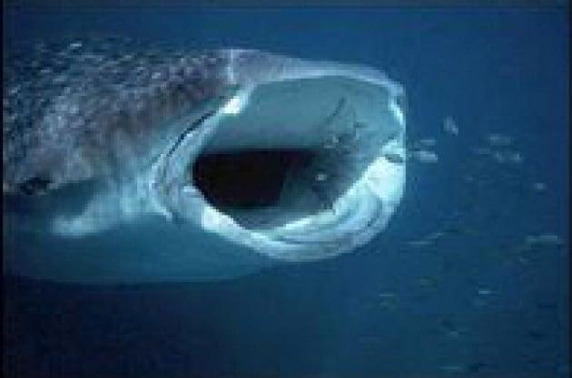 Agli squali balena piace il caviale