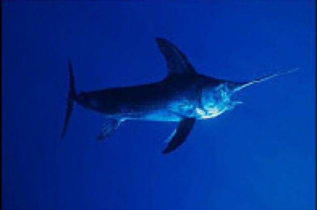 Mare freddo, occhi caldi: la strategia del pesce spada
