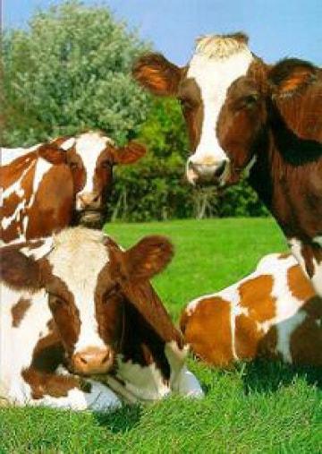 Vacche da latte scremato
