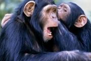 z912158-chimpanzees_grooming-spl