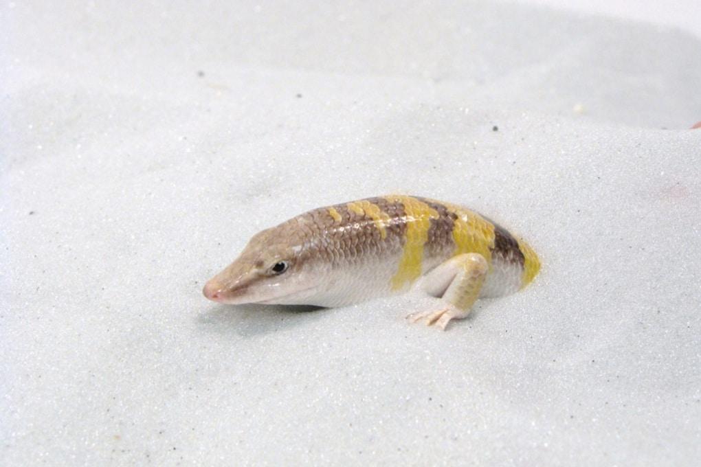 Il pesce delle sabbie