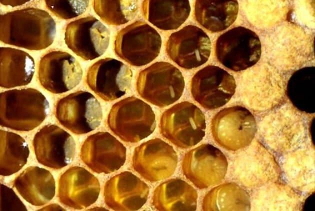 Tutti i maschi dell'ape regina