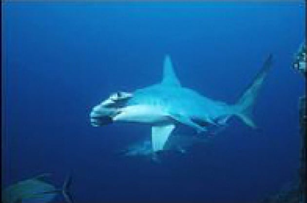 È ufficiale: squali in pericolo