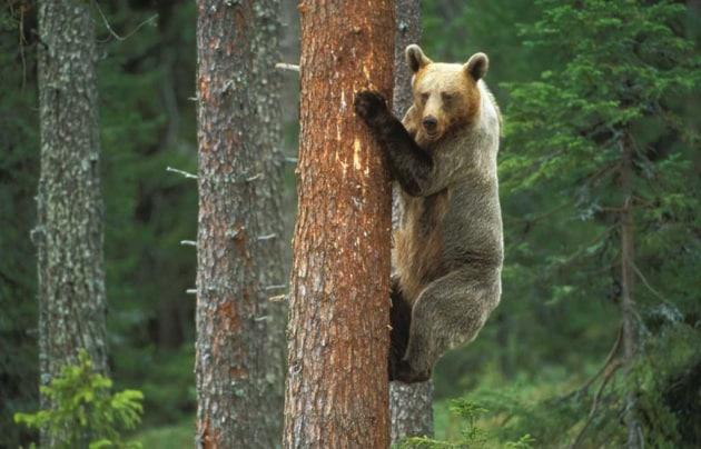 Tutto sugli orsi for Disegno orso per bambini
