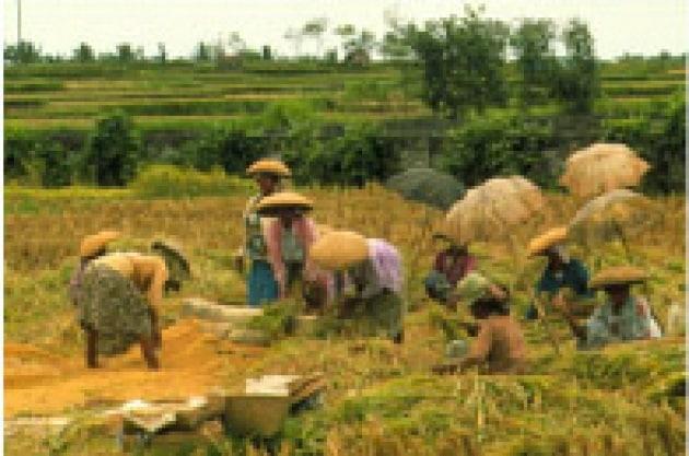 I saltelli del riso