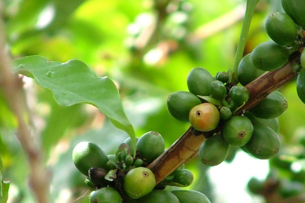 Il riscaldamento globale farà scomparire il caffè?