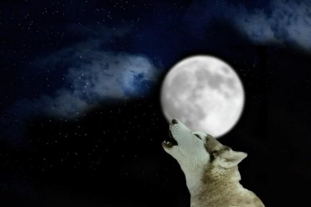 È un cane o un lupo?