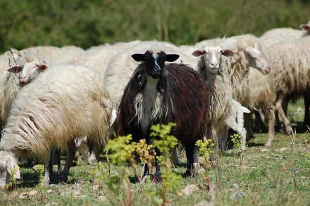 Non ci sono più le pecore nere di una volta