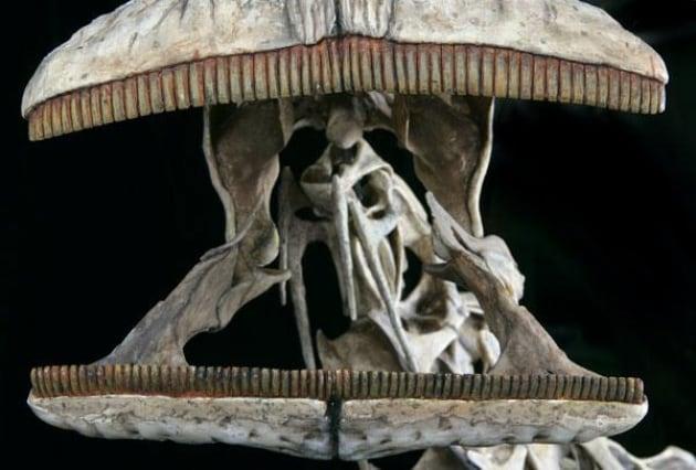 Il dinosauro con 500 zanne: era come una mucca