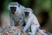 spl_z910059-vervet_monkeys