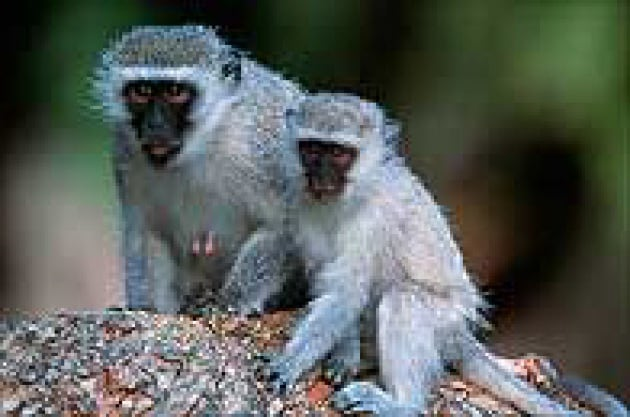 spl_z910059-vervet_monkeys