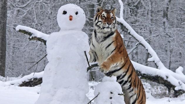 Le tigri e la neve