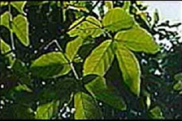 Che cos'è il guarana e come viene utilizzato?